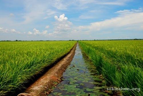 sekinchan-paddy-field-view-a